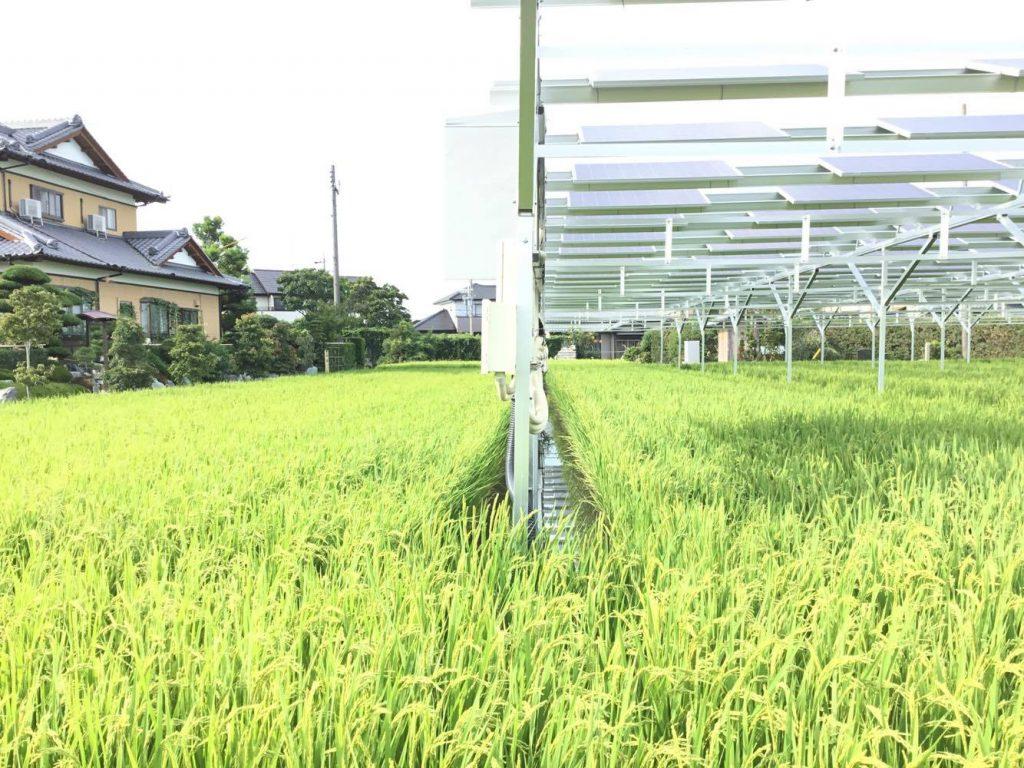 藤枝稲作ソーラーシェアリング1年目