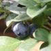 驚きの生育スピード!? ブルーベリー養液栽培
